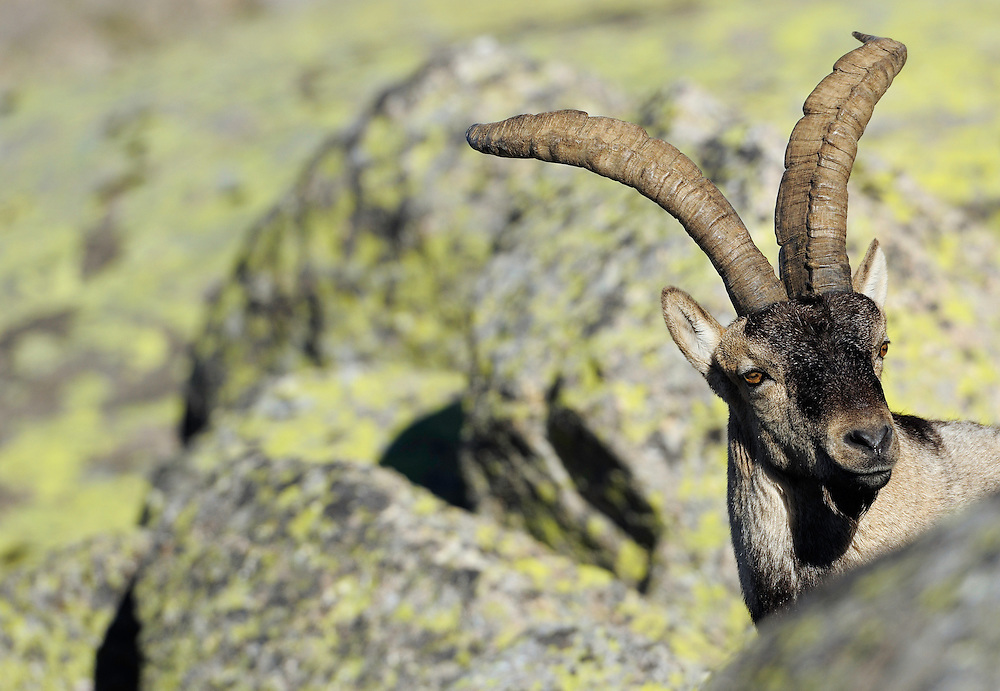 Iberian ibex (Capra pyrenaica), Gredos mountains, Spain