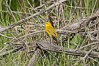 A Yellow Warbler sits on a dead log on the ground warblers are insect eating ground feeding birds.
