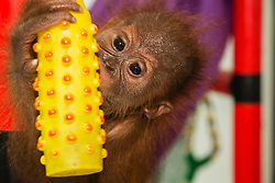A young critically endangered Sumatran orangutan (Pongo abelii)  that was rescued from illegal pet traders after its mother was killed, plays in the quarantine center in Medan where he needs to live until he is old enough to be released safely back into the wild, Medan, Sumatra, Indonesia