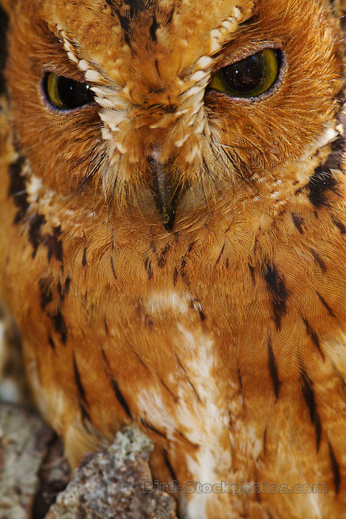 Rainforest Scops Owl, (Madagascar Scops Owl), Otus rutilus, portrait, Madagascar, by Marius Coetzee