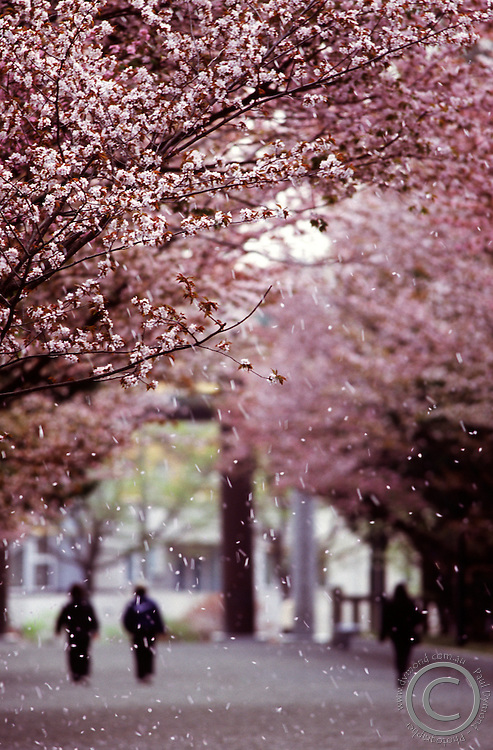 A morning breeze blows cherry blossoms from the branches at Hokkaido's largest shrine - Hokkaido Jingu, in Maruyama, Sapporo, Japan