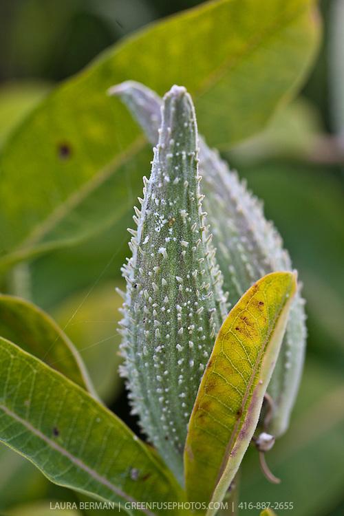 Milkweed (Asclepias syriaca) a North American native perennial.