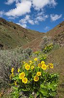 Arrowleaf Balsamroot (Balsamorhiza sagittata) Columbia Plateau Oregon