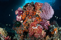 The strong currents in the Misool area create perfect conditions for filter feeders such as soft corals, sea whips and fans and many of the dive sites have huge fields of fans, soft corals and whips.  The reefs of Raja Ampat are some of the most diverse and healthiest in the world.