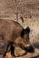 HUNTER TAKING AIM AT FEEDING FERAL PIGS