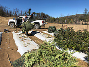 First legal recreational Cannabis Harvest in California. Photo© SuziAltman