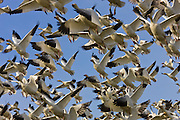 Hundreds of snow geese (Chens caerulescens) take off from a field in Skagit County, Washington. More than 30,000 snow geese spend part of the winter there, feasting in farmers' fields.
