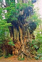 Big Cedar Tree, A Western Red Cedar (Thuja plicata).  The largest Western Red Cedar tree in Olympic National Park.  Found along HWY 101.  Washington.