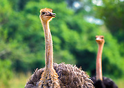 Two Ostrich in the Nairobi National Park, Kenya, Africa