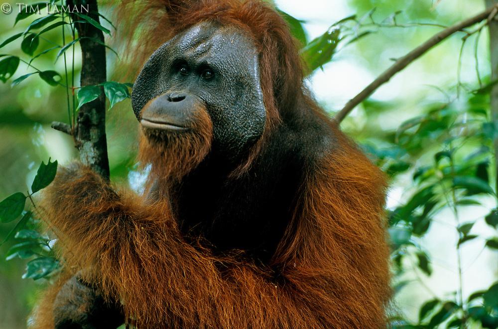 Adult male Bornean Orangutan (Pongo pygmaeus).  Gunung Palung National Park, West Kalimantan, Indonesia.