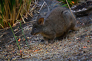 """Tasmanian Pademelon also known as the Rufous-bellied Pademelon or Red-bellied Pademelon, it's the only endemic pademelon to Tasmania. It's like a small kangaroo or wallaby - and they're very cute, kinda chunky and chubby.....This one is wild, but feeding in a garden at dusk, on the Tasman Peninsula. I've had them """"pad"""" up to me in the dark and giving me a curious look before bouncing off again.."""