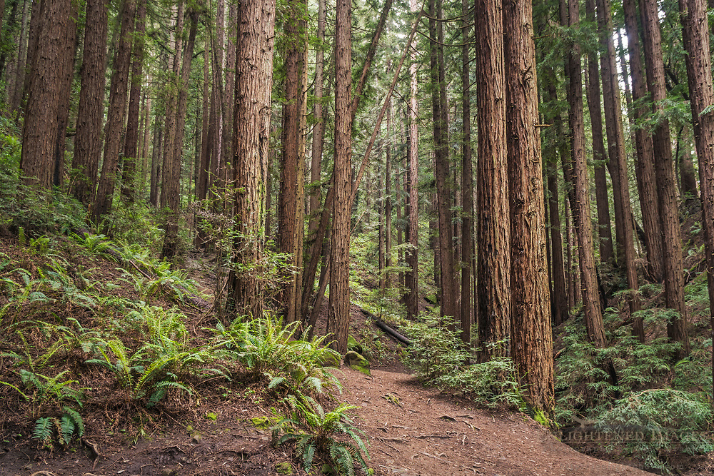 Trail through redwood trees in forest, Redwood Regional Park, Oakland Hills, California