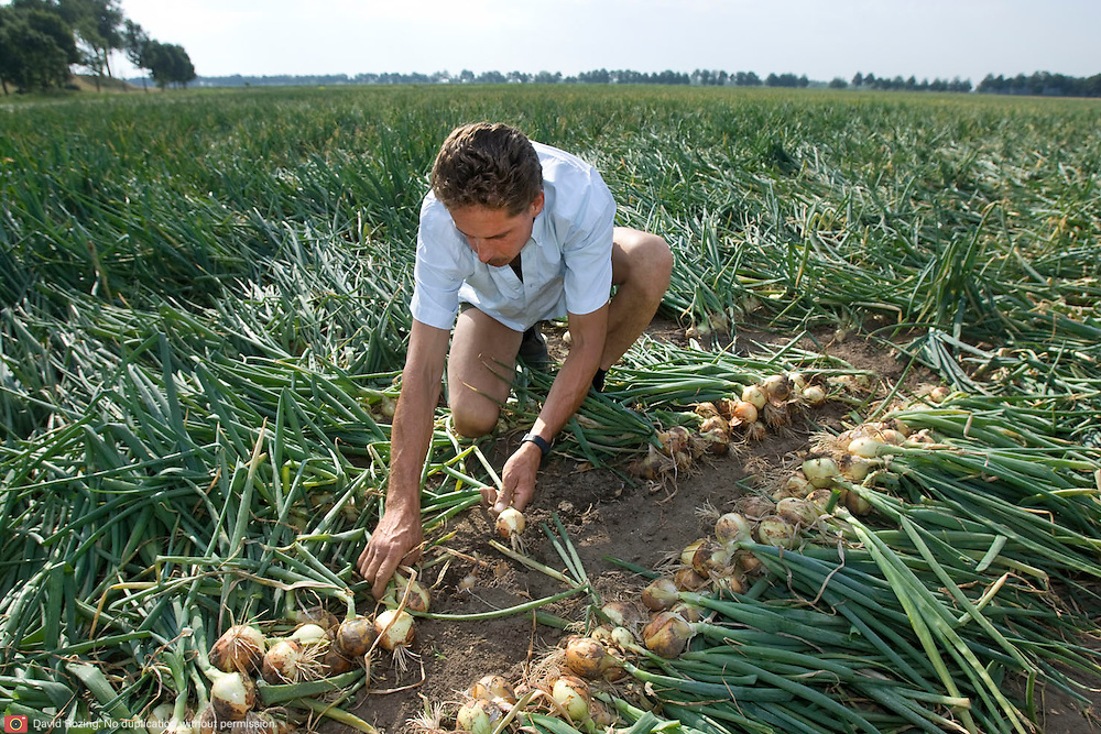 Nederland Rhoon 20 augustus 2009 20090820 Foto: David Rozing ..Serie over levensmiddelensector                                                                                    .Een boer sorteert toont uien op het land.A farmer sorting out showing onions..Foto: David Rozing