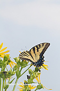 03023-02801 Eastern Tiger Swallowtail (Papilio glaucus) on Cup Plant (Silphium perfoliatum) Marion Co. IL
