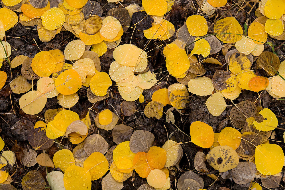 Amazingly there are some fall color in California. While we don't have the spectacular displays of the east you can find some color in the aspens. I was hiking around Rock Creek in the Eastern Sierra and came across these yellow aspen leaves.