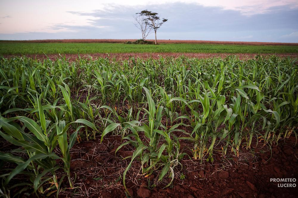 Las plantaciones de cultivos transgénicos, como el sorgo, vienen seguidas de la tala de la selva, en la que quedan apenas vestigios. La imagen, a las afueras de Hopelchén. (FOTO: Prometeo Lucero)