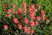 Indian Paintbrush (Castilleja indivisa), Burnet County, Texas