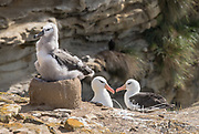 A Black-browed albatross chick sits on a nest nearby to its parents.