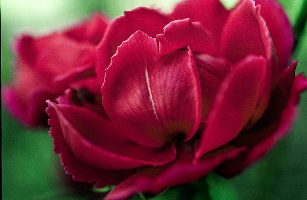 Closeup photo of a red rose blooming.