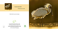Eurasian Spoonbill Platalea leucorodia Square Greeting Card with Peel and Seal White Envelope