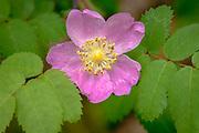 (Rosa nutkana); Cascade Mountains, Oregon.