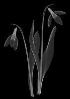 X-ray image of a snowdrop pair (Galanthus, white on black) by Jim Wehtje, specialist in x-ray art and design images.