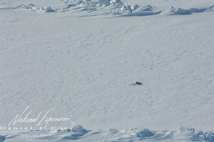 A Ringed Seal near its hole on the Beaufort Sea ice pack, Kaktovik, Alaska.