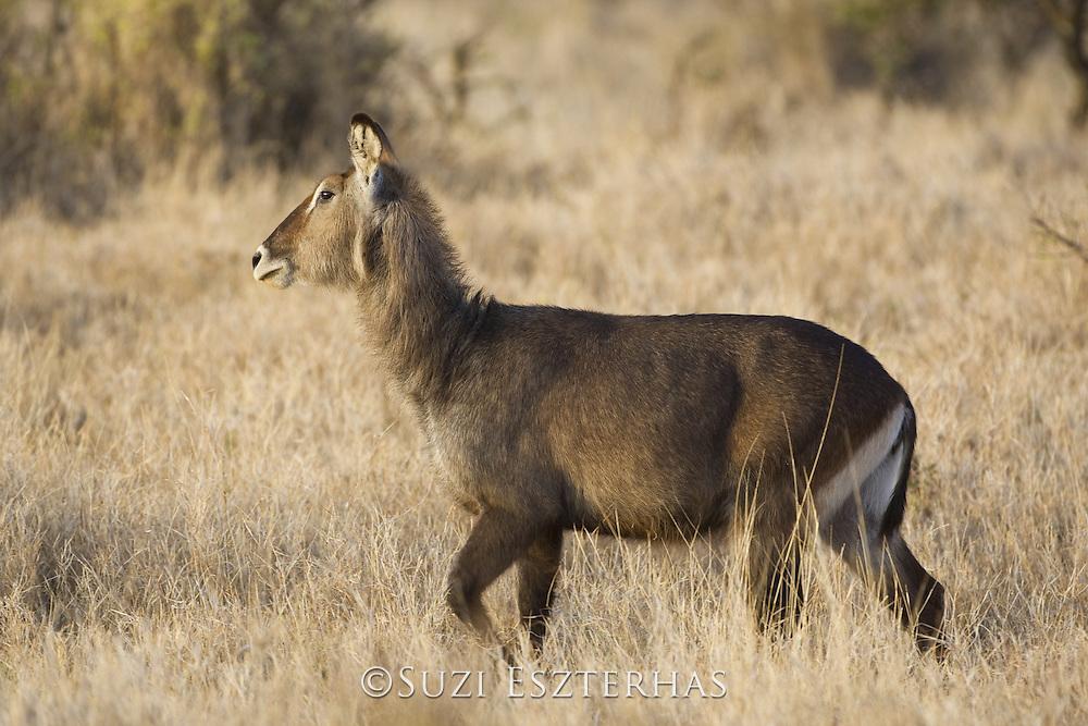 Defassa's Waterbuck<br /> Kobus ellipsiprymnus defa<br /> Lewa Conservancy, Kenya