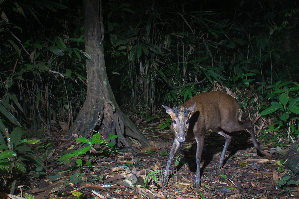 Fea's Muntjac (Muntiacus feae)<br />