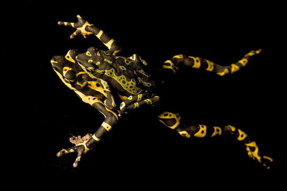 A male Limón Harlequin Frog - a species new to science - attempts to mate with a dead female below in southern Ecuador. The male is taken into captivity and dies the following week. Both test positive for the amphibian chytrid fungus, a silent killer on the move from Central and South America to Australia to California.