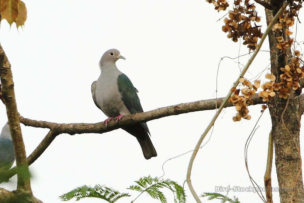 Green Imperial Pigeon, Ducula aenea, Assam, India, by Markus Lilje