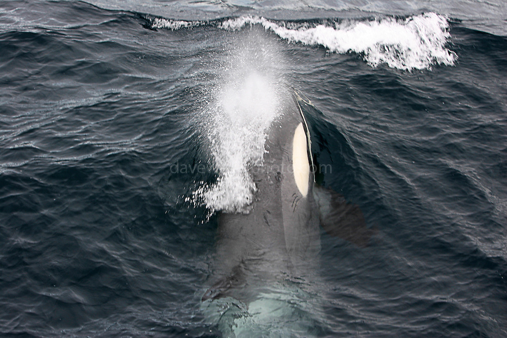 Orca, Killer whale, near the Esperanza, Ross Sea.Southern Ocean Whaling 2007.&copy Dave Walsh