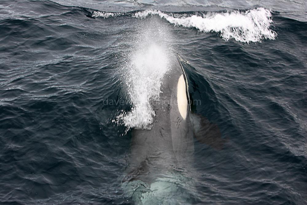 Orca, Killer whale, near the Esperanza, Ross Sea.Southern Ocean Whaling 2007.&copy Dave Walsh