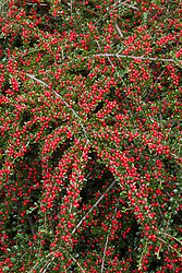 The berries of Cotoneaster horizontalis. Wall spray, Rock spray