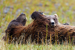 North American brown bear / coastal grizzly bear (Ursus arctos horribilis) cub rests on sow after nursing in a field, Lake Clark National Park, Alaska, United States of America