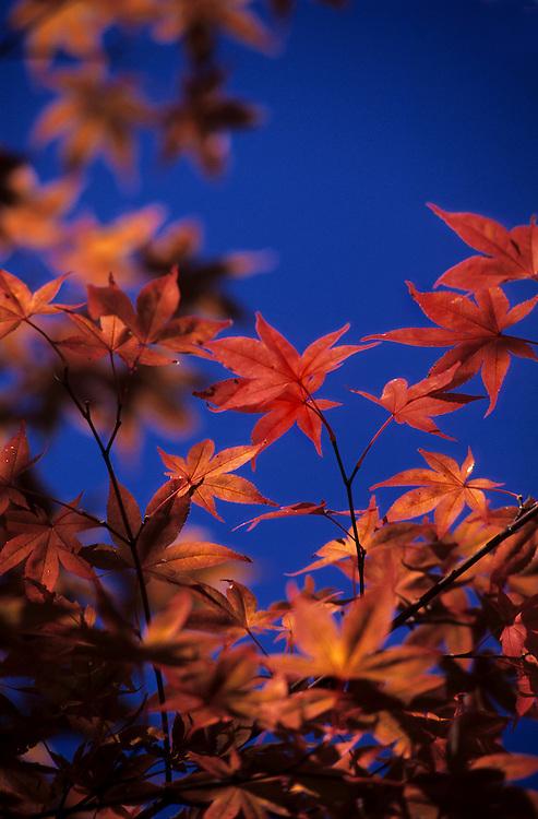Japan, Gifu, Shinhodaka. October/17/2004...The changing colors of a Japanese maple highights a deep blue sky.