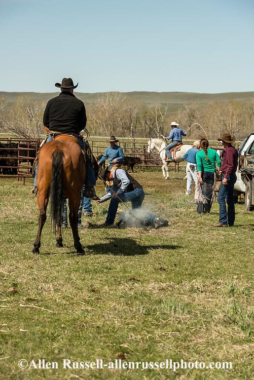 Cowboys, dragging calves to the fire, branding, Lazy SR Ranch, Wilsall, Montana, Randy Jackson, Kurt Mraz
