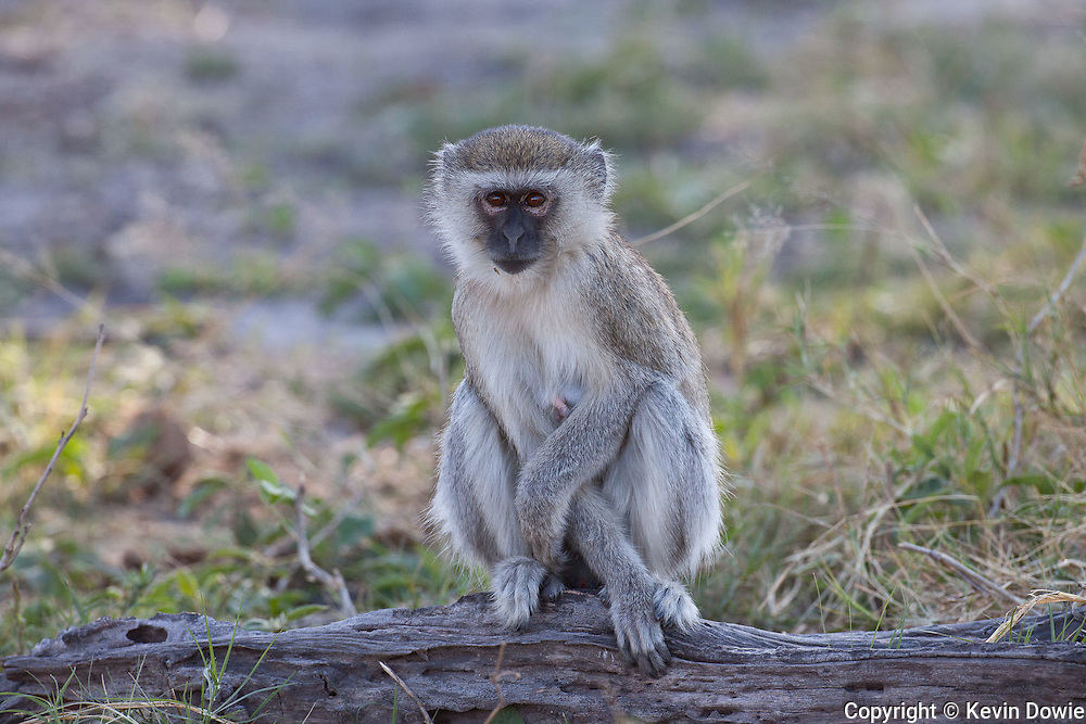 Vervet Monkey sitting on log, Okavango Delta, Botswana.