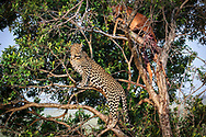 A big male leopard with impala on the tree pose in beautiful evening light at Masai Mara National Reserve Kenya Africa<br /> photo  credit by &copy;Claudio Zamagni