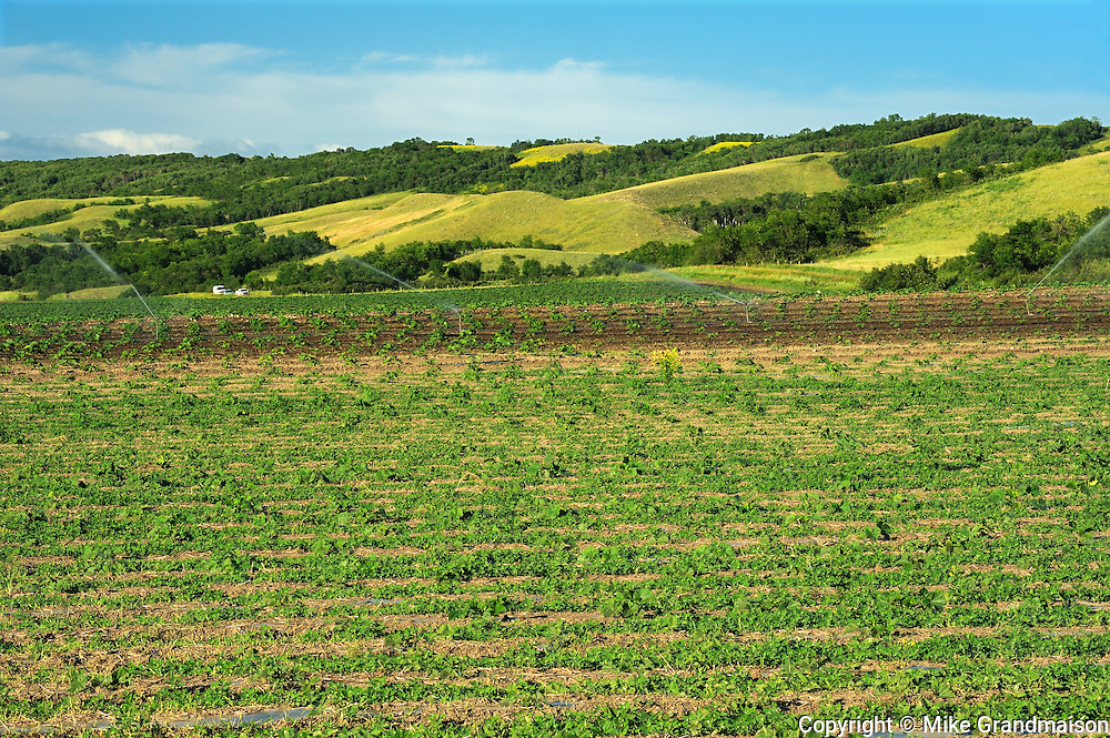 Miniature pumpkins growing in the Qu'Appelle Valley<br /> Craven<br /> Saskatchewan<br /> Canada