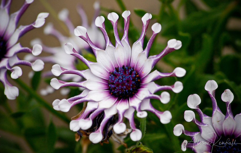 Surreal and colorful white, pink and purple flowers with strange petals, bloom in a garden