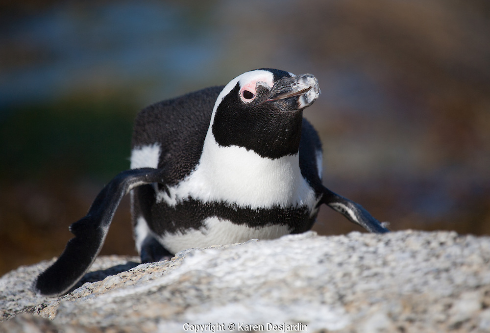 Close-up of an African penguin on a rock at Boulders Beach, South Africa.