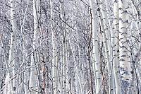 Aspen Trees in Winter at Maroon Lake, Maroon - Snowmass Wilderness, Colorado