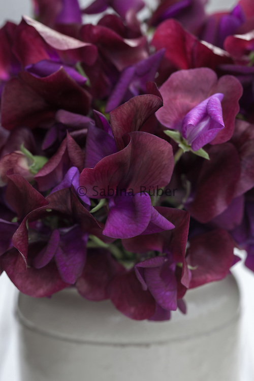 Lathyrus odoratus 'Black Knight' - sweet pea