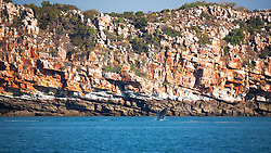 A humpback whale calf breaches off Wilson Point in Camden Sound on the Kimberley coast.