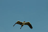 A Cocoi Heron (Ardea cocoi) flying through the clear blue sky in Delta Amacuro, Venezuela.