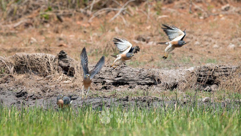 Female  Chinese sparrowhawk (Accipiter soloensis) taking to flight from a forest water hole in Phu Khieo Wildlife Sanctuary, Thailand. Also called Chinese goshawk or grey frog hawk.