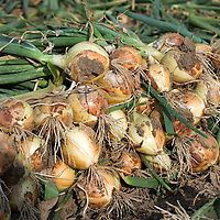 Nederland Rhoon 20 augustus 2009 20090820 Foto: David Rozing ..Serie over levensmiddelensector   .Close up van een bos uien op een akker                                                                                     .Closeup onions ..Foto: David Rozing