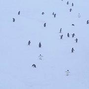 Chinstrap Penguin, (Pygoscelis antarctica) And  Adelie Penguins, (Pygos celis adeliae) Candlemas Island