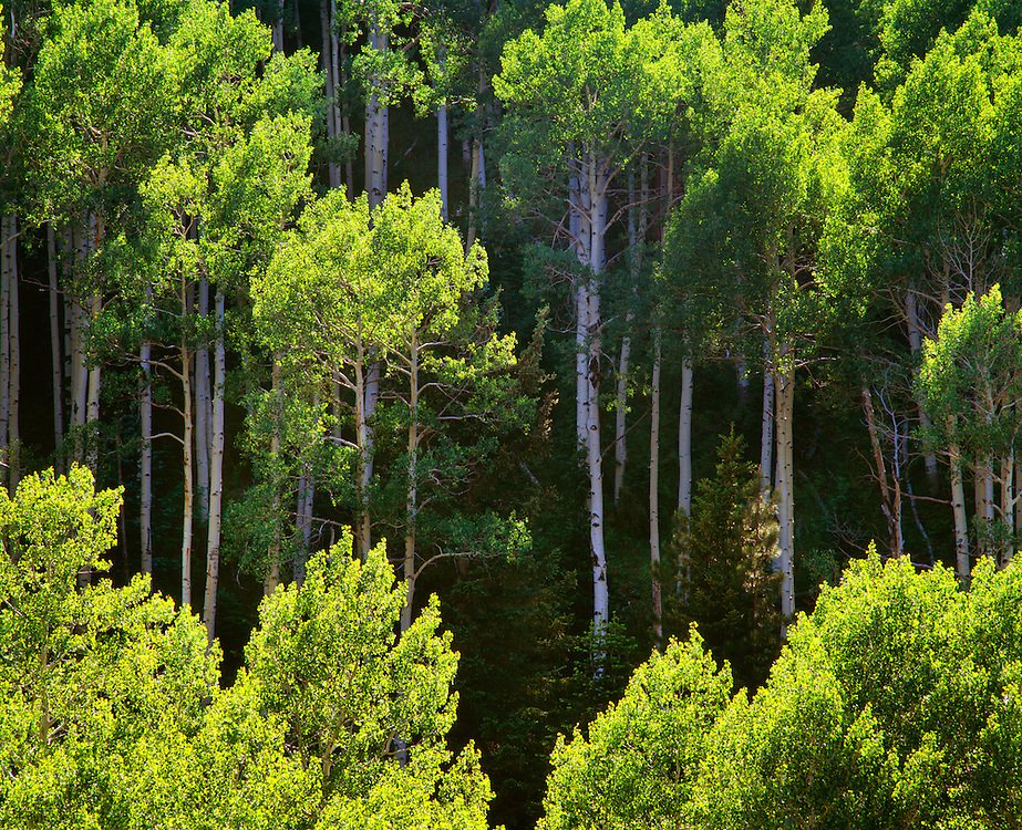 0107-1093B ~ Copyright:  George H. H. Huey ~ Aspen trees on the Walhalla Plateau.  North Rim, Grand Canyon National Park, Arizona.